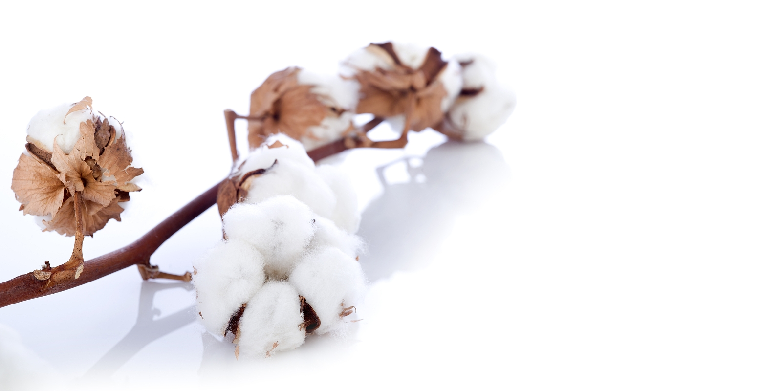 Non-GMO cotton